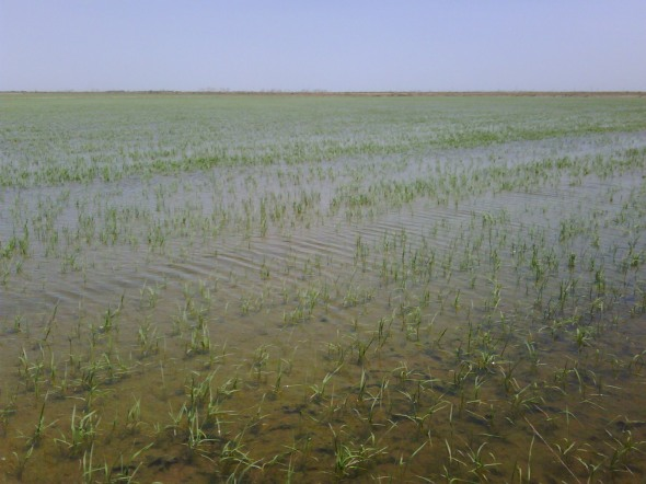 rice in the katy prairie